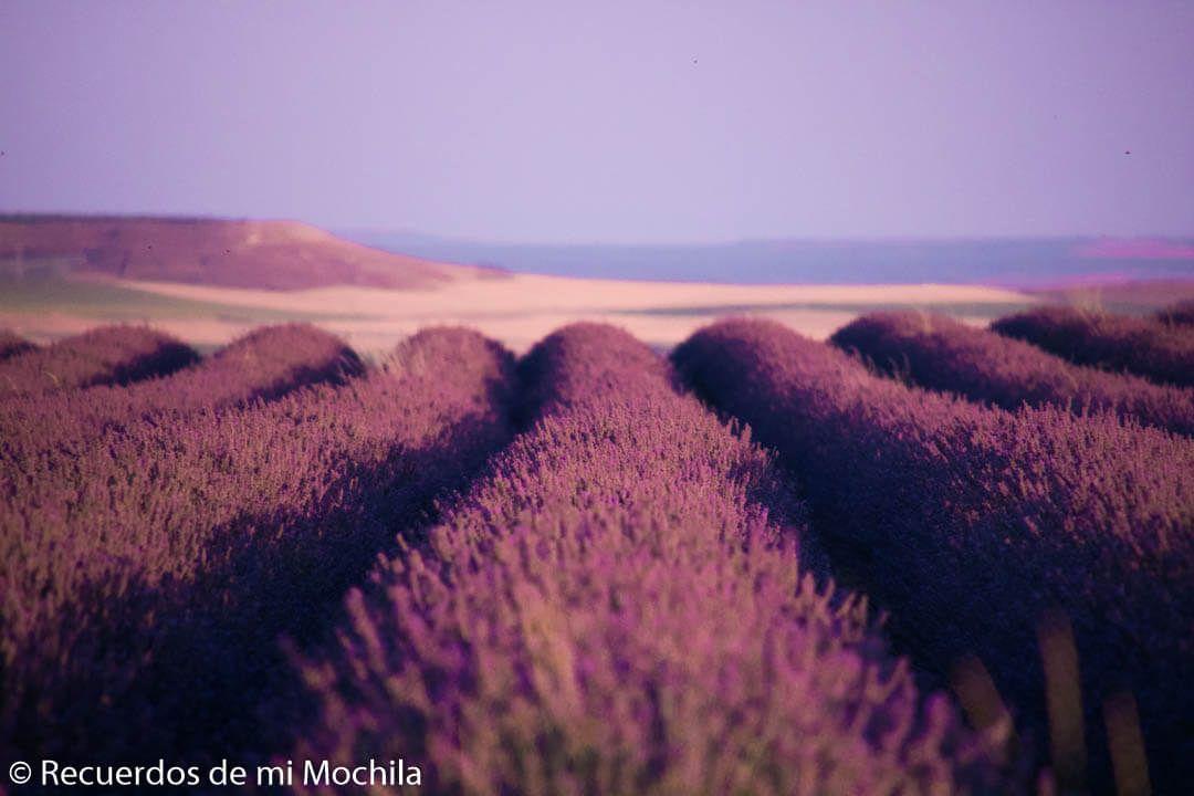 campos de lavanda de tiedra